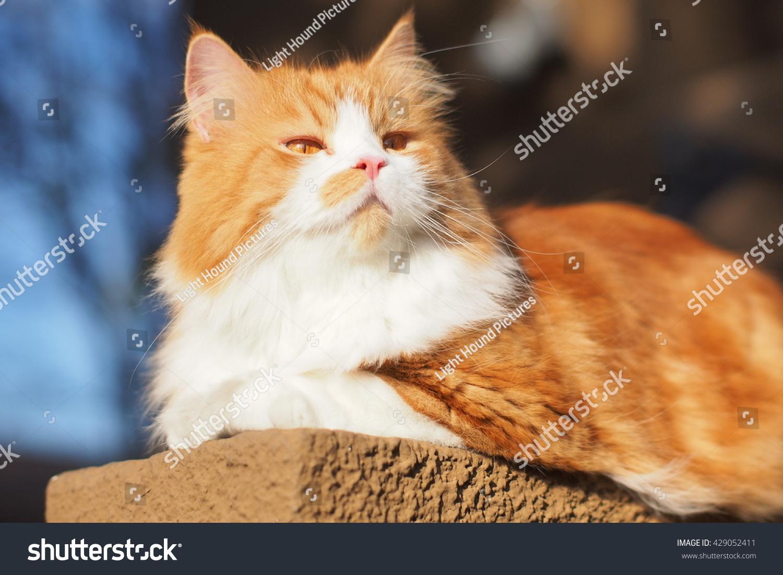 Beautiful Orange Long Haired Bi Color Stock