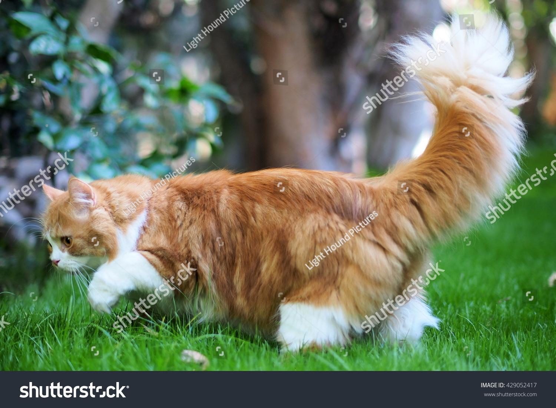 Furry Bi Color Orange Long Haired Stock Shutterstock