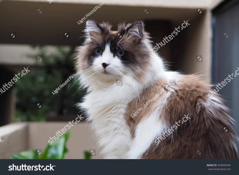 Royalty Free Portrait Of Regal Long Hair Bi Color 429059440 Stock