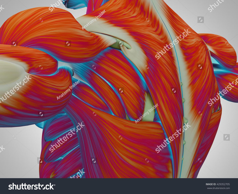 Human Anatomy Torso Back Shoulder Muscles Stock Illustration