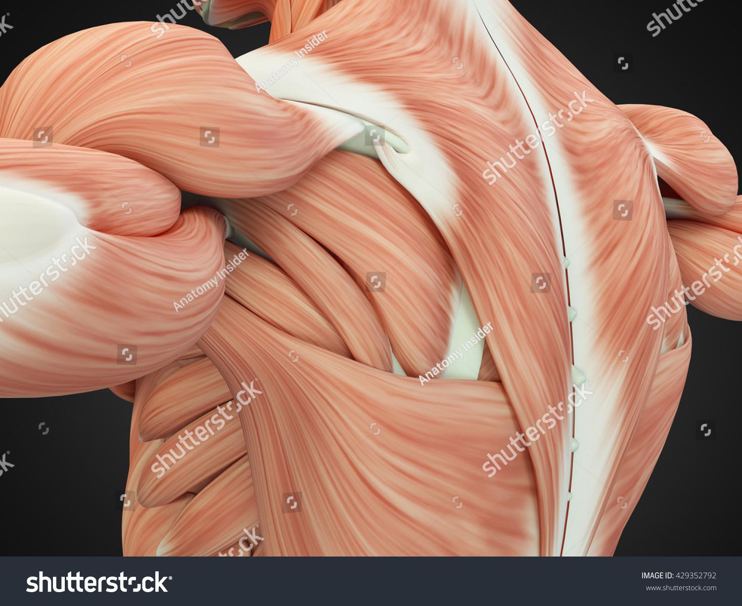Human Anatomy Torso Back Shoulder Muscles Stock Illustration