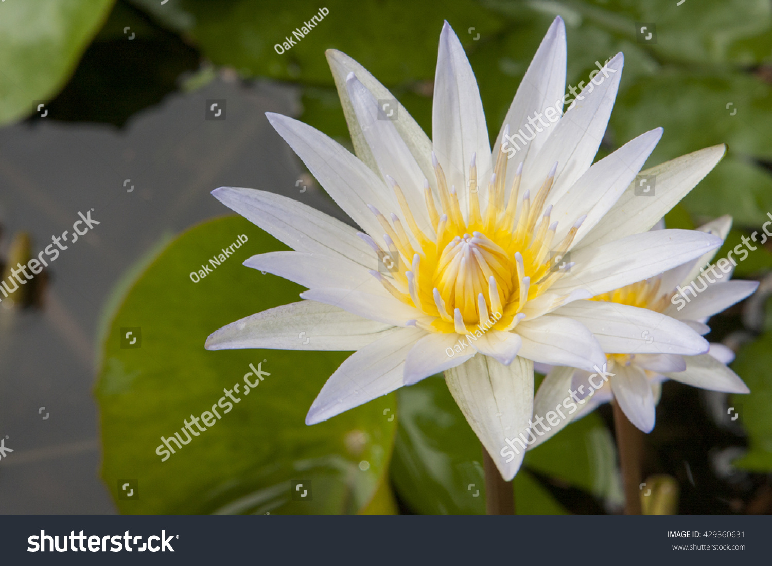 The Close Up Of White Yellow Lotus Flower And Lotus Flower Plants