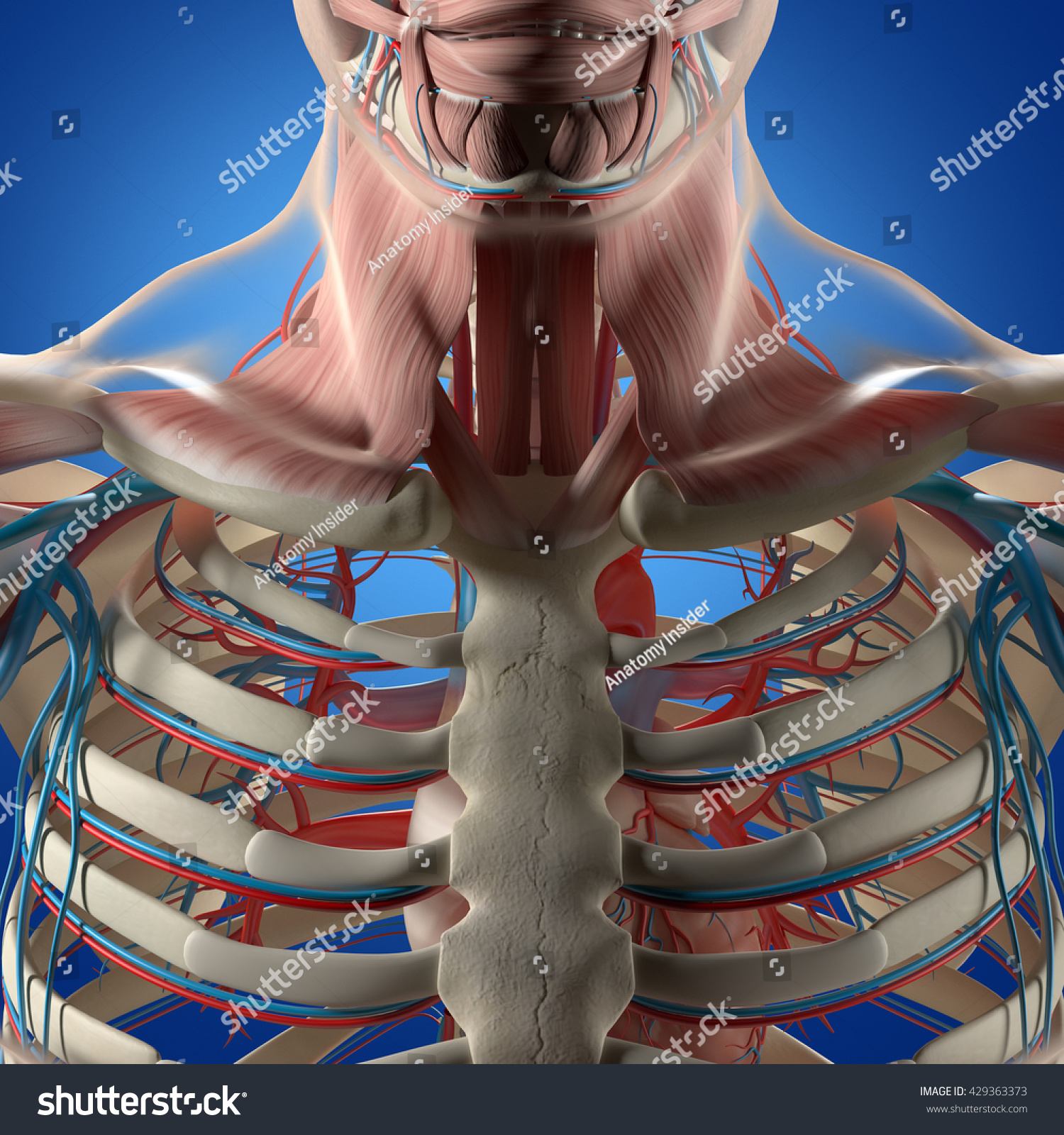 Human Anatomy Torso Rib Cage Muscle Stockillustration 429363373