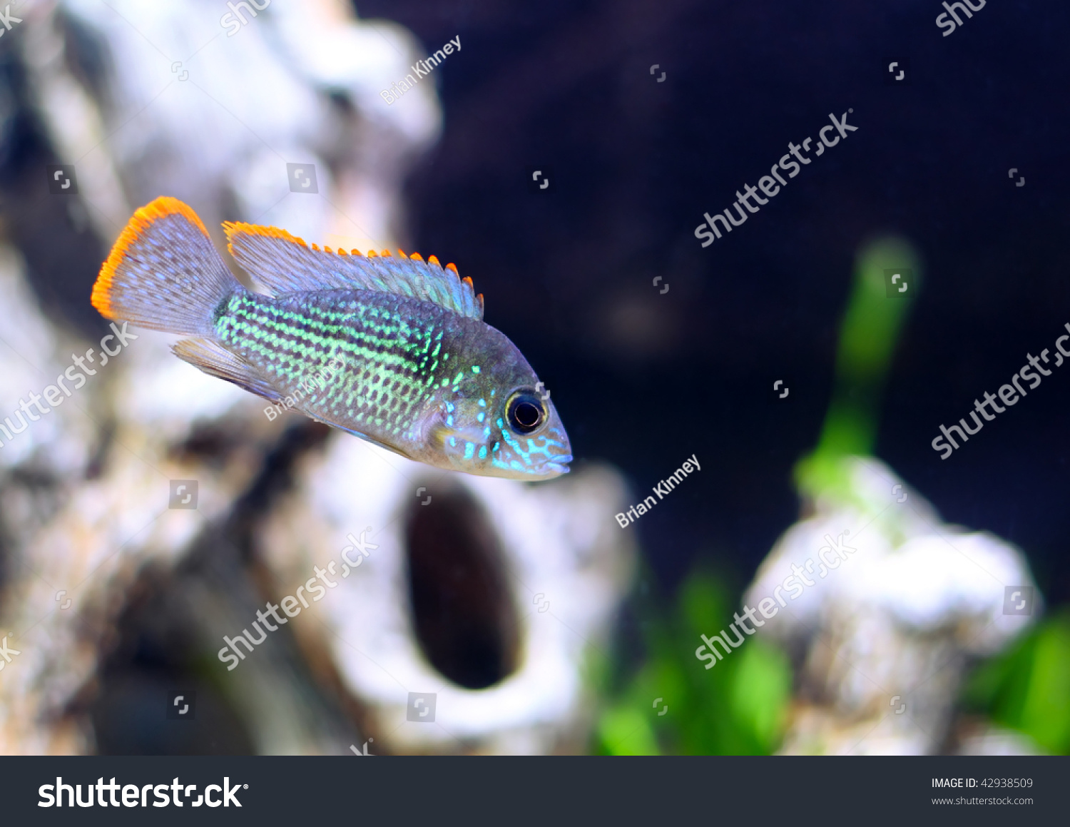 Fish for asian aquarium - Save To A Lightbox