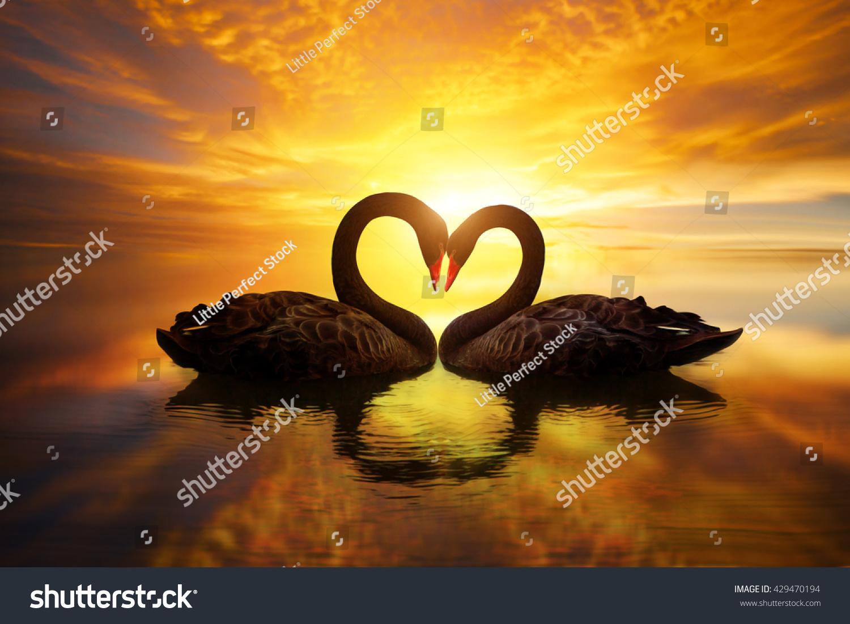Beautiful Black Swan Heart Shape On Stock Photo 429470194 ...