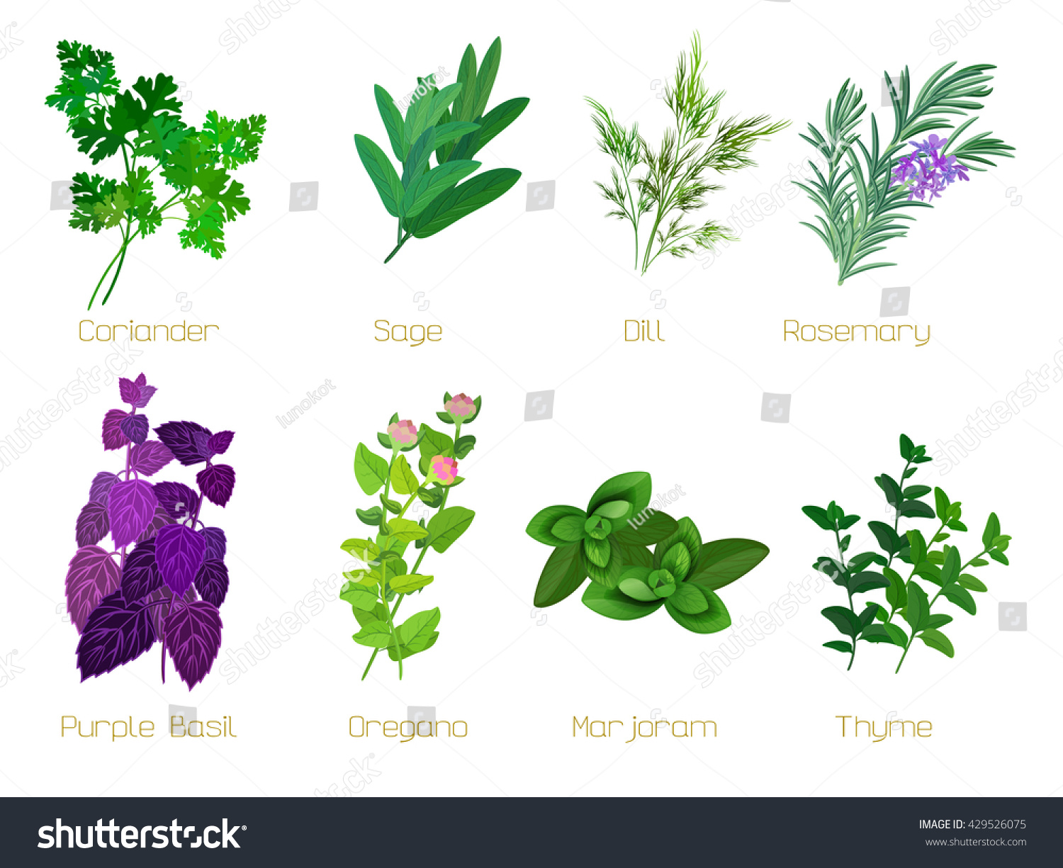 Set Of Herbs And Spices: Collection Of Kitchen Herbs. Vector Illustration.