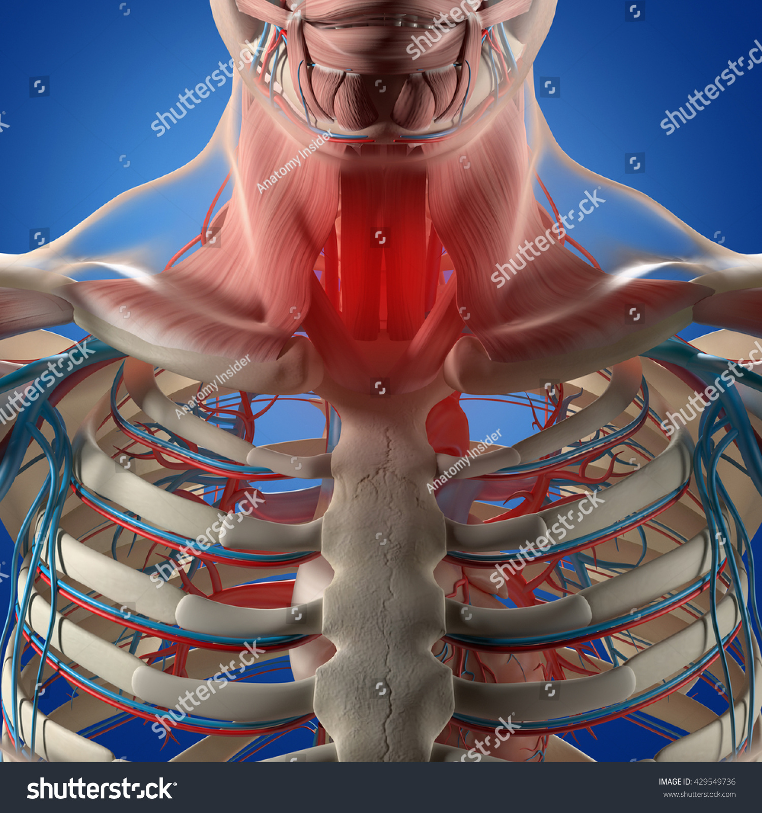 Human Anatomysore Throat Infection Chest Rib Stock Illustration ...