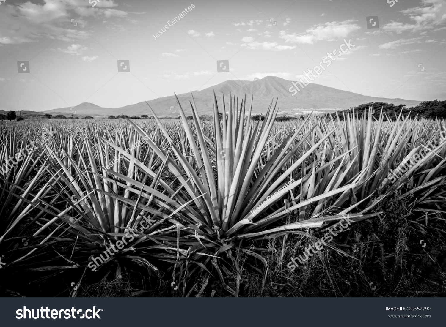 Agave tequila landscape to guadalajara jalisco mexico black and white