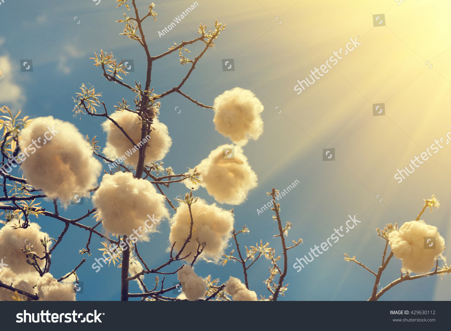 Branches Tree White Fluffy Fruit On Stock Photo Edit Now Shutterstock