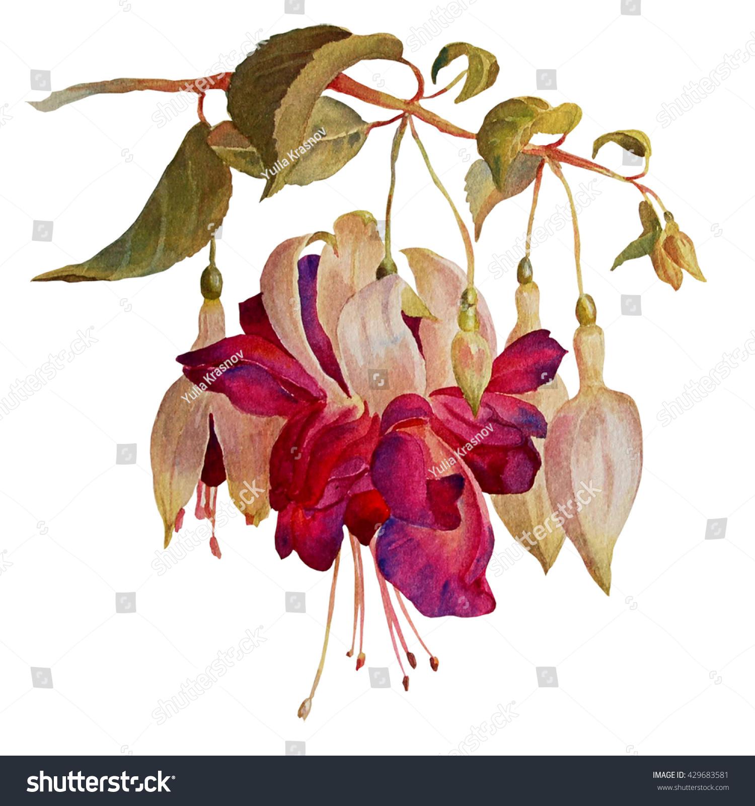 Fuchsia Flowers Isolated On White Background Stock Illustration ...