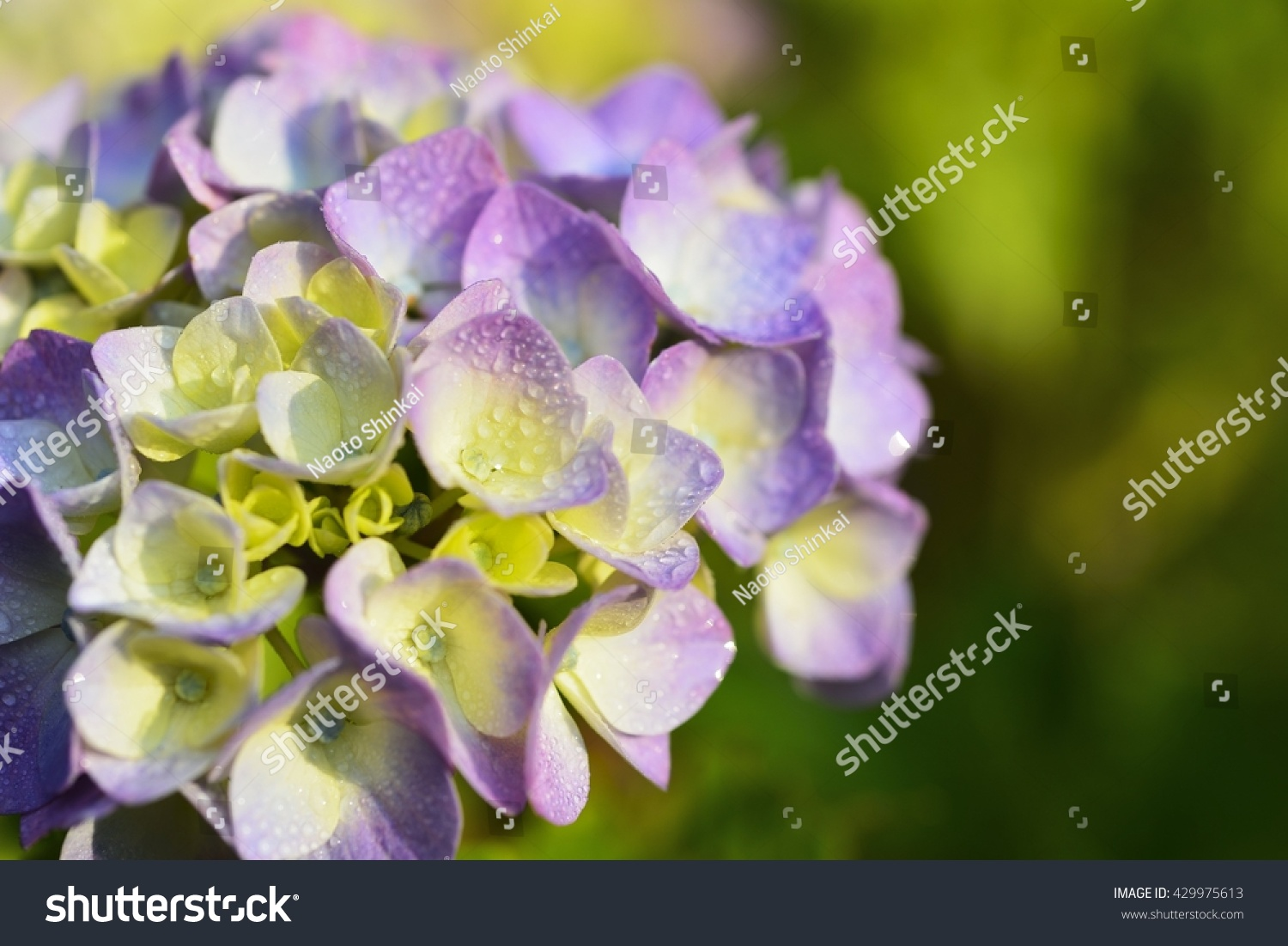 Two Tone Purple Yellow Flowers Hydrangea Stock Photo Edit Now