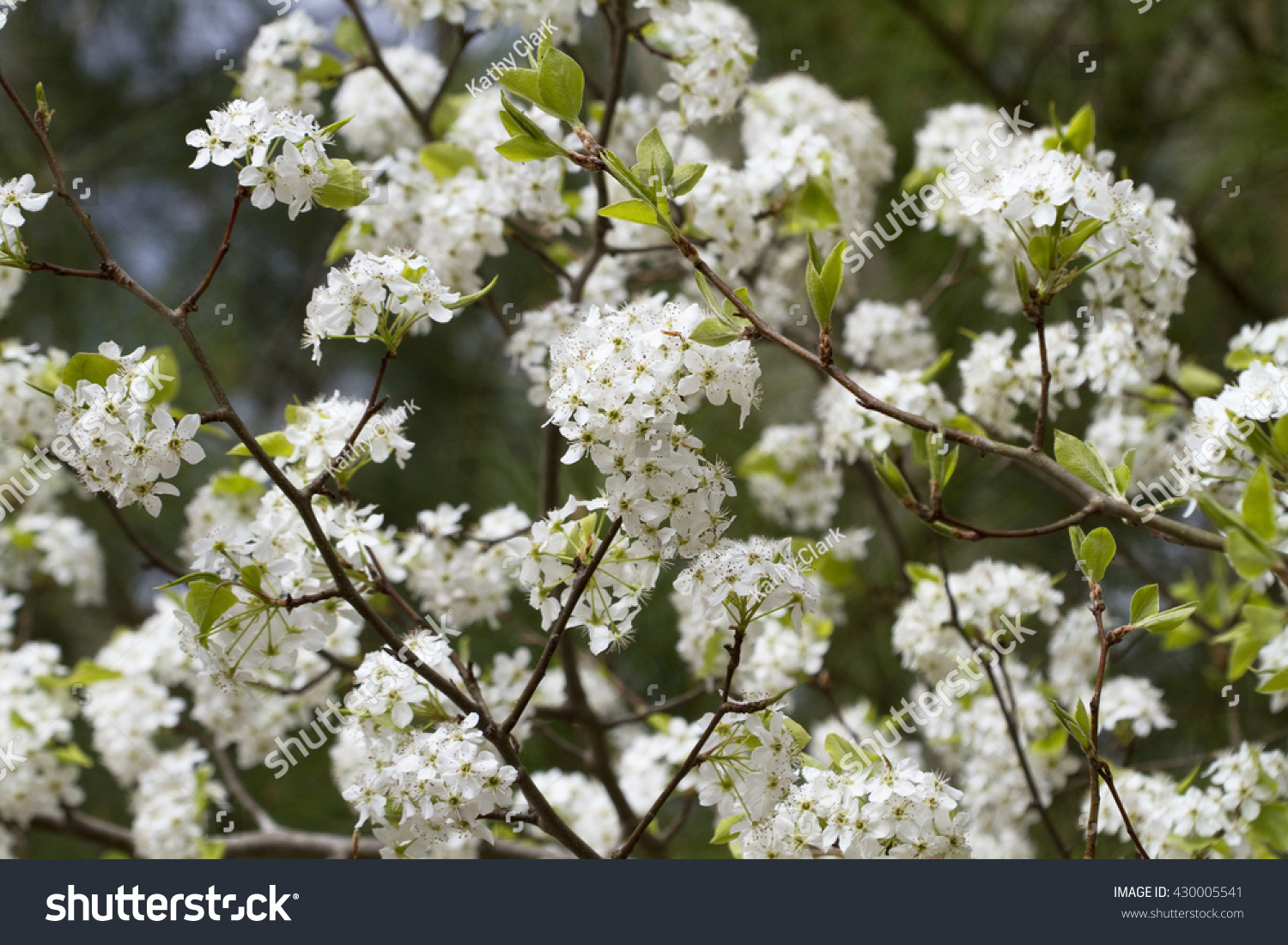 White Bradford Callery Pear Tree Blossoms Stock Photo Edit Now