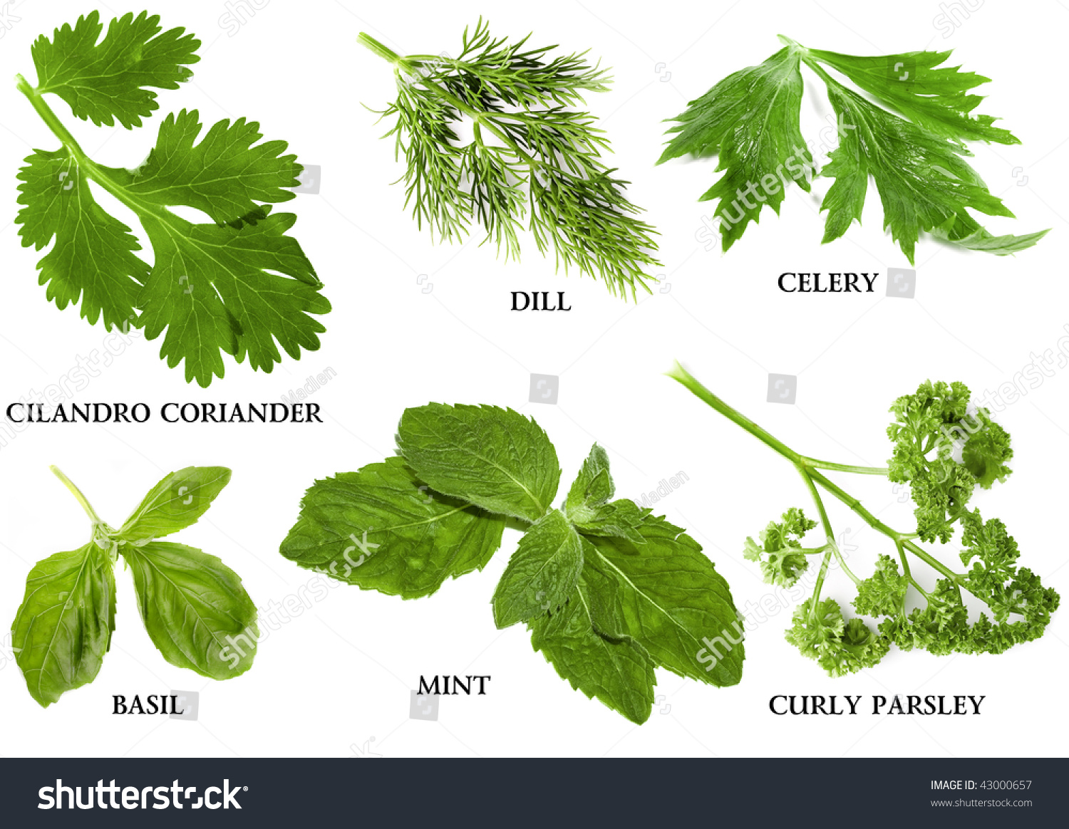 Collection Set Fresh Herbs Names Isolated Stock Photo 43000657 ...