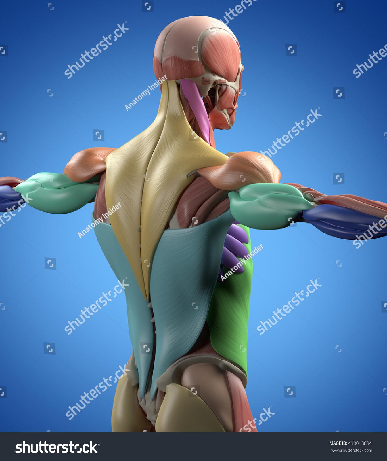 Human Anatomy Muscle Groups Muscle Layout Stock Illustration
