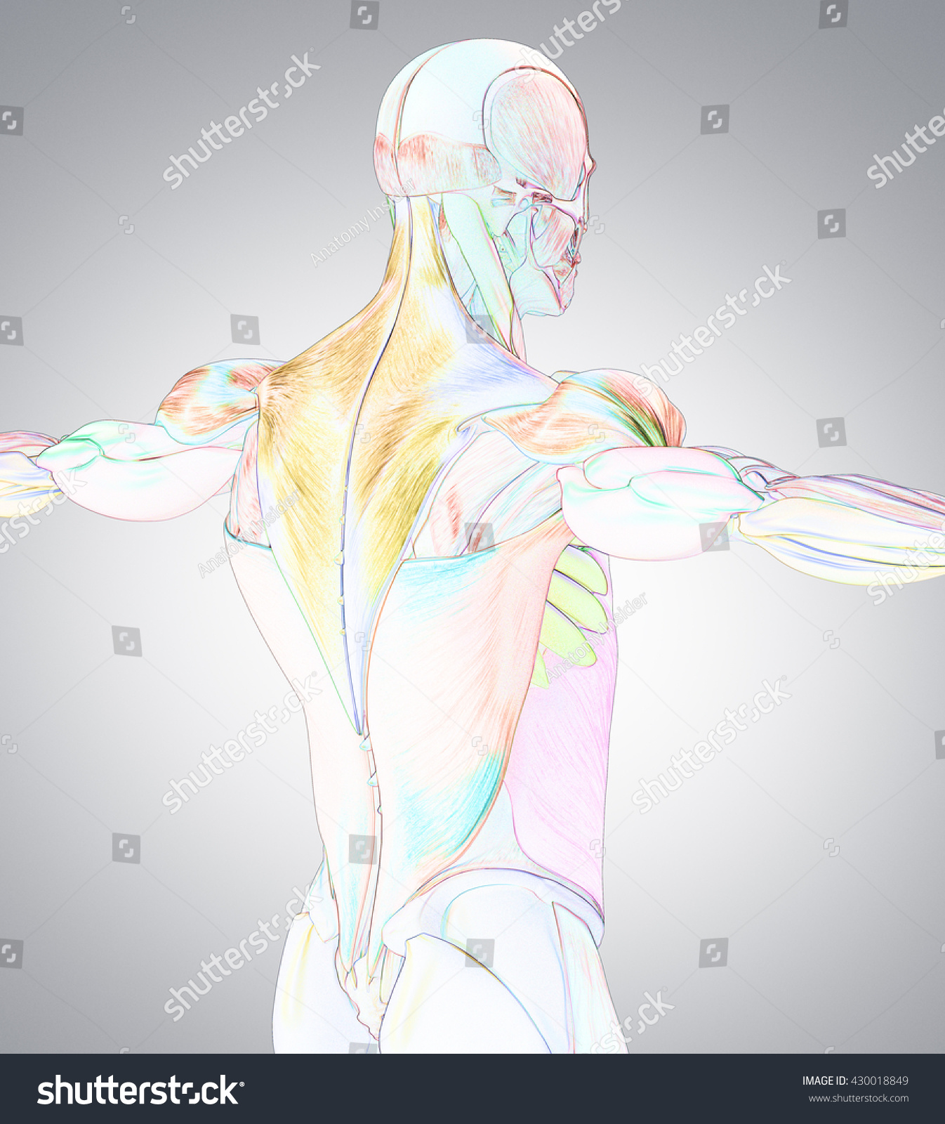 Human Anatomy Muscle Groups Muscle Layout Stock Illustration