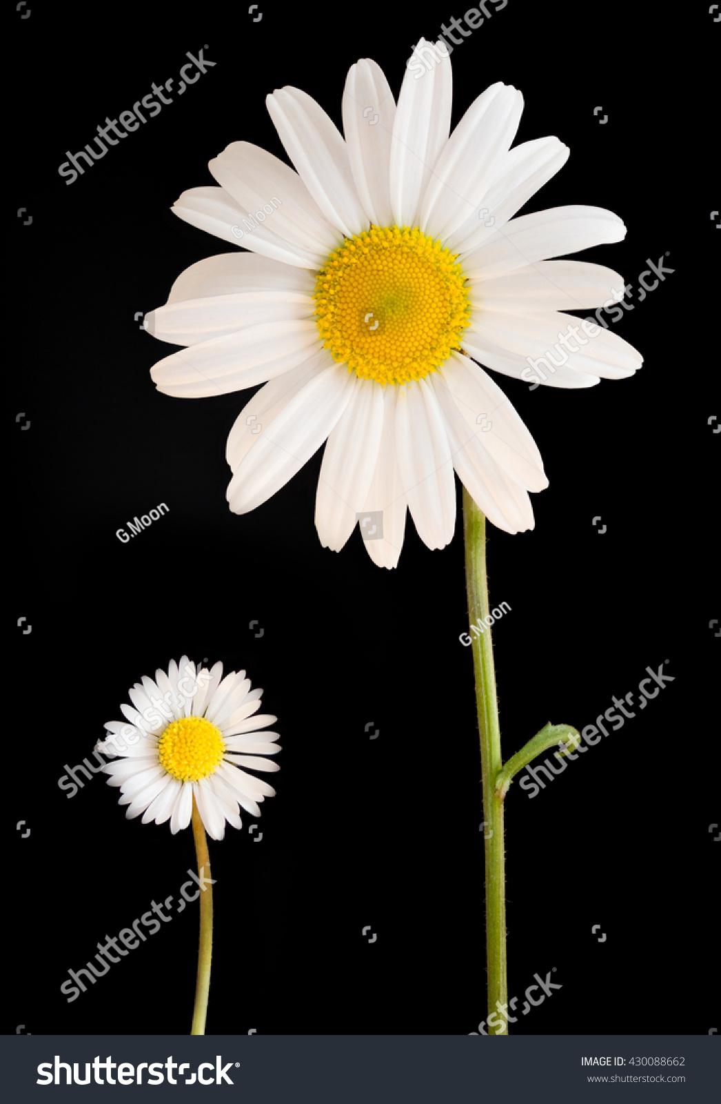 Big Daisy Alongside Small Daisy Flower Stock Photo Edit Now