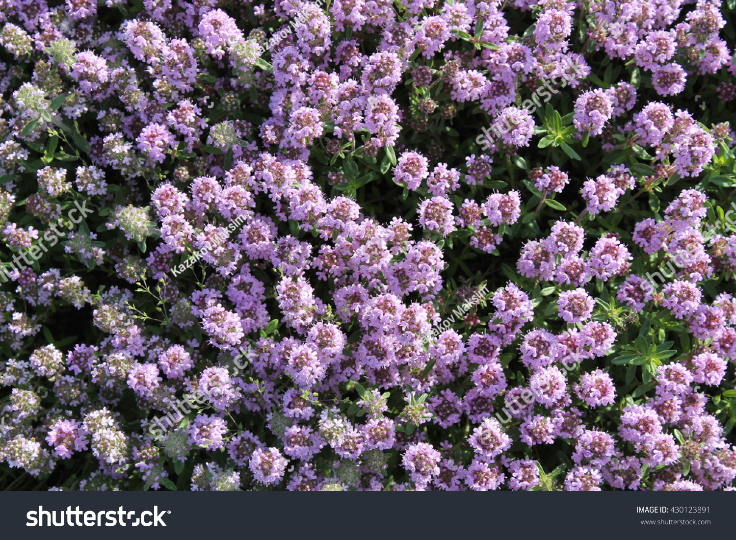 Common Garden Flowers Pink common thyme flowers pink garden thyme stock photo 430123891