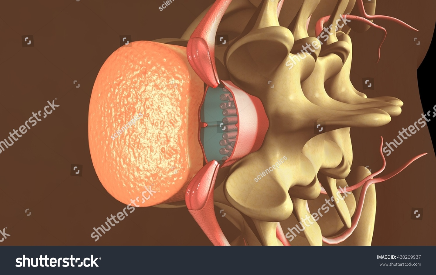 Spinal Anesthesia 3 D Illustration Stock Illustration 430269937 ...