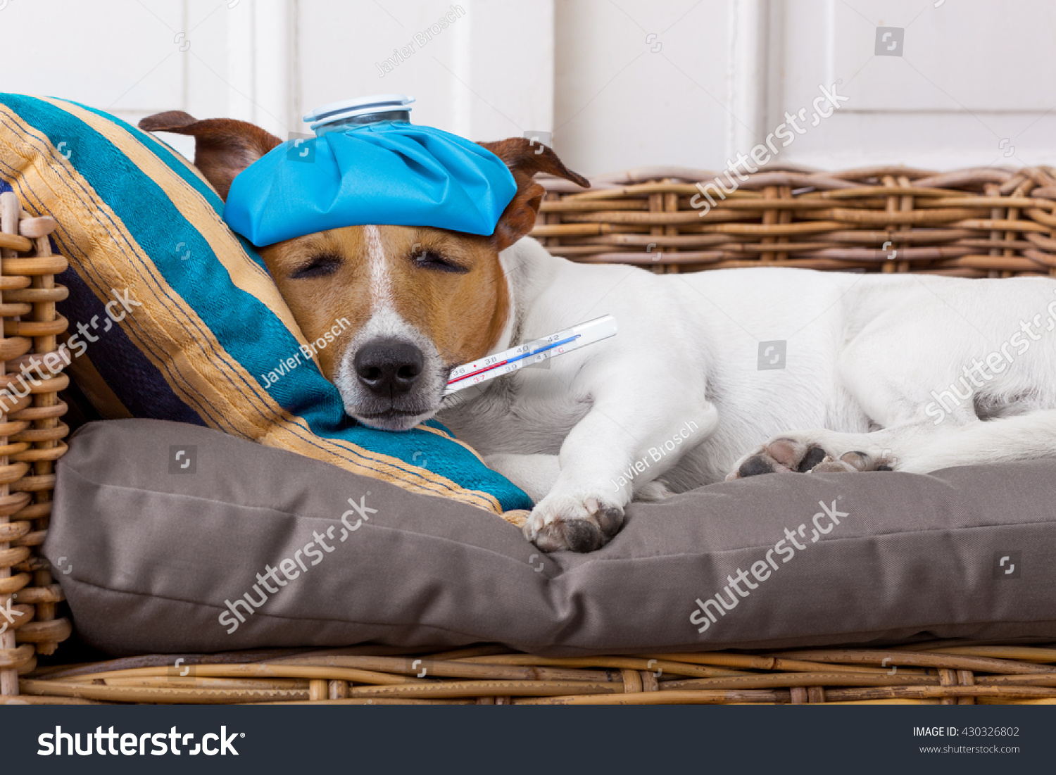 Sick Ill Jack Russell Dog Bed Stock Photo (Edit Now) 430326802