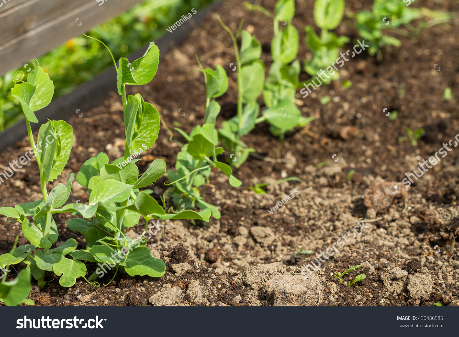 Young Small Sprouts Peas Kitchen Garden Stock Photo (Royalty Free ...