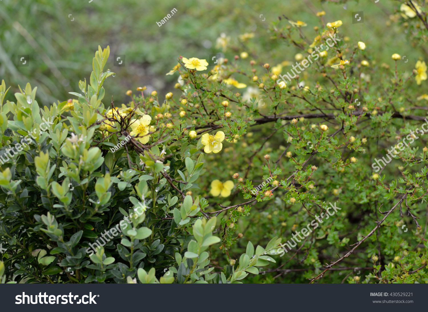 Bush Small Yellow Flowers Spring Time Stock Photo Edit Now