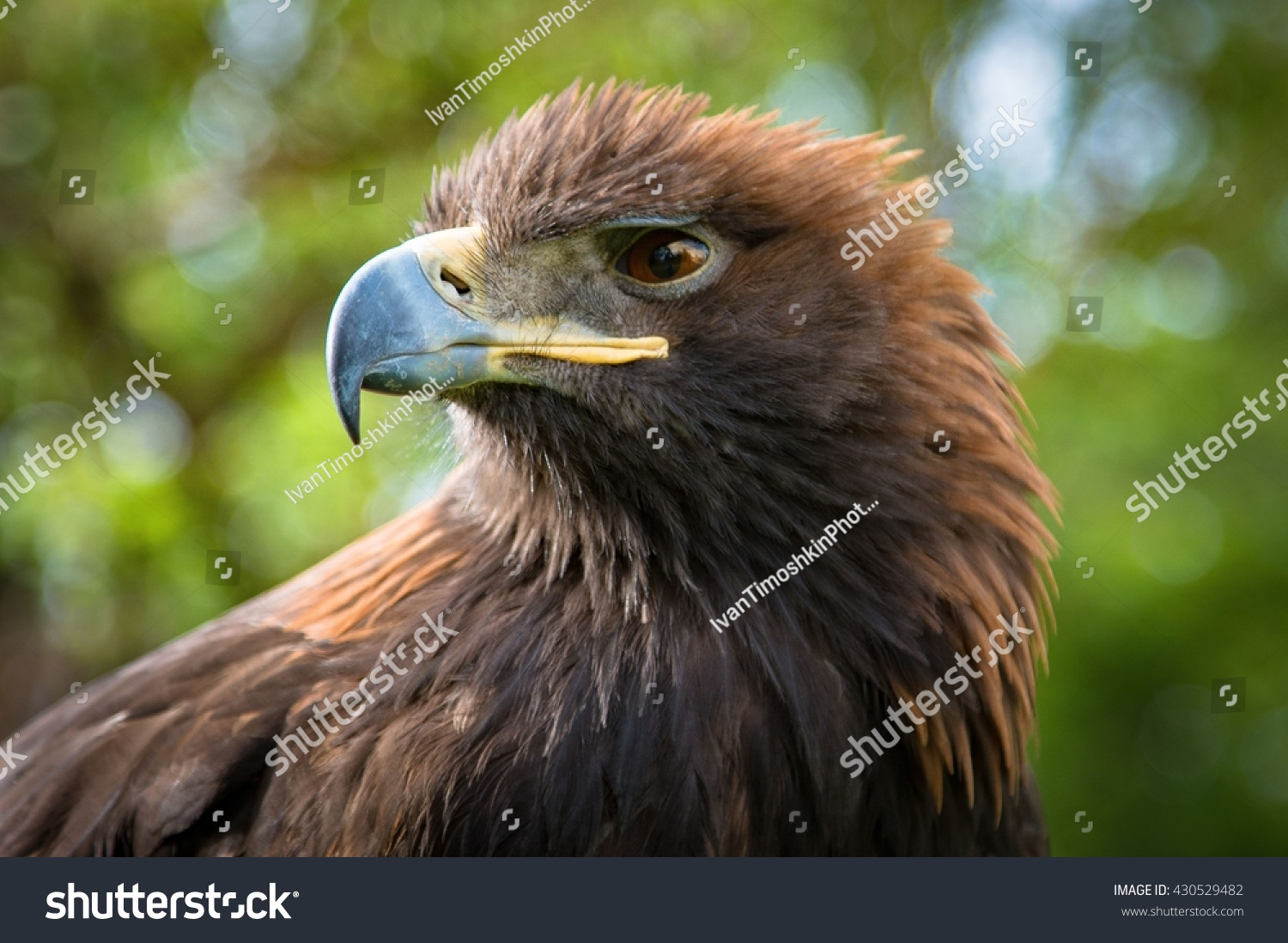 angry bird golden eagle hunter small village stock photo 430529482