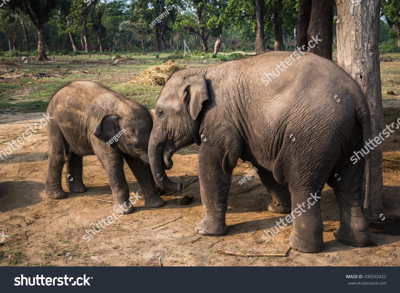 Elephants On Farm Chitwan Reserve Stock Photo (Edit Now