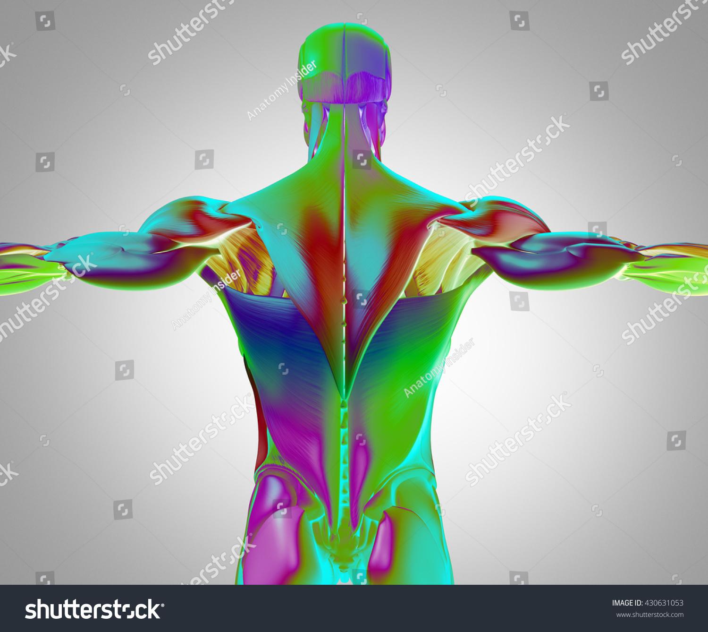 Human Anatomy Muscle Groups Torso Back Stock Illustration 430631053