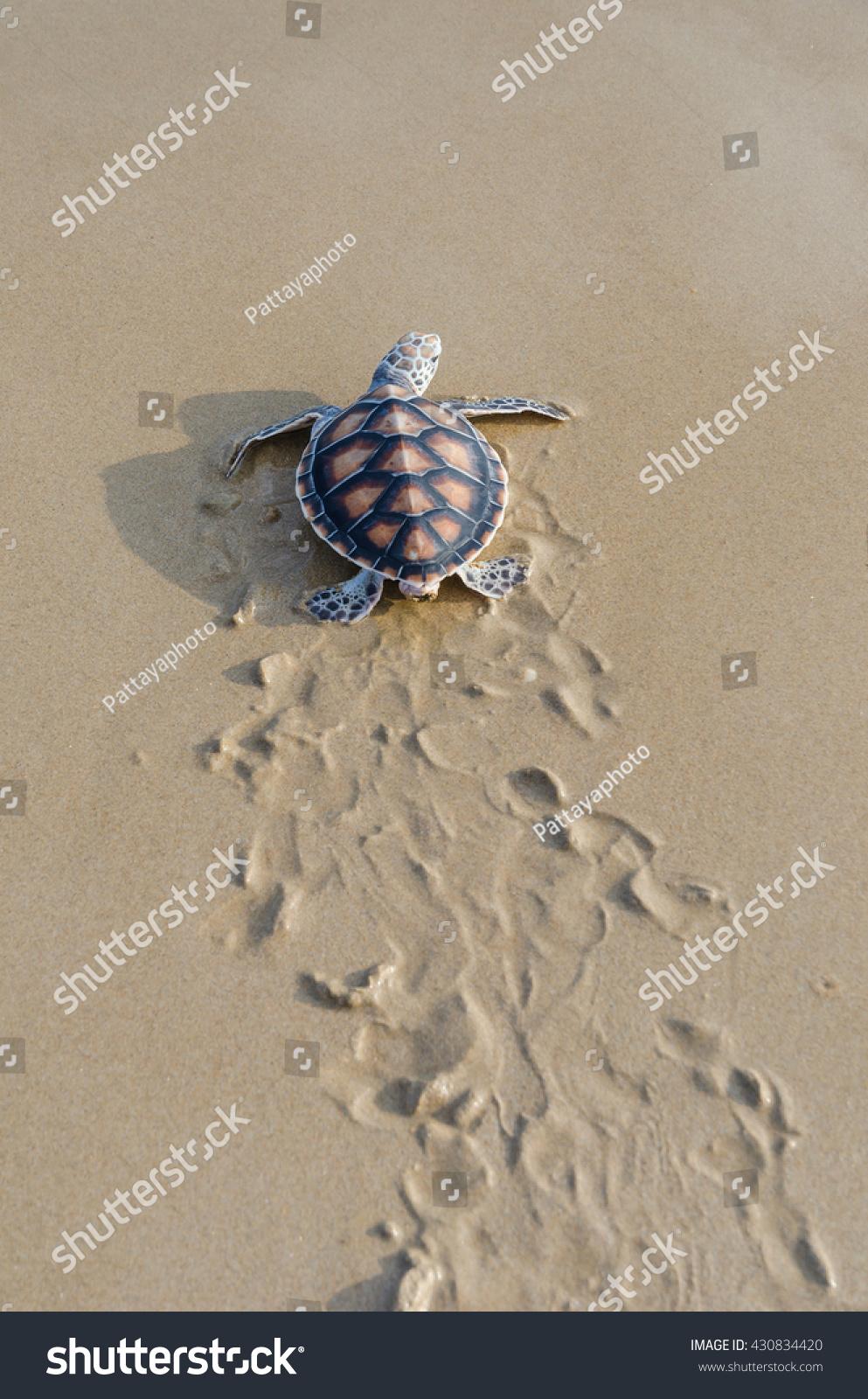 green sea turtle walk ocean phangnga stock photo 430834420