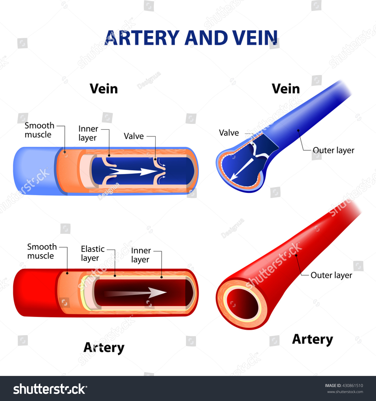 Royalty Free Stock Illustration Of Artery Vein Red Indicates