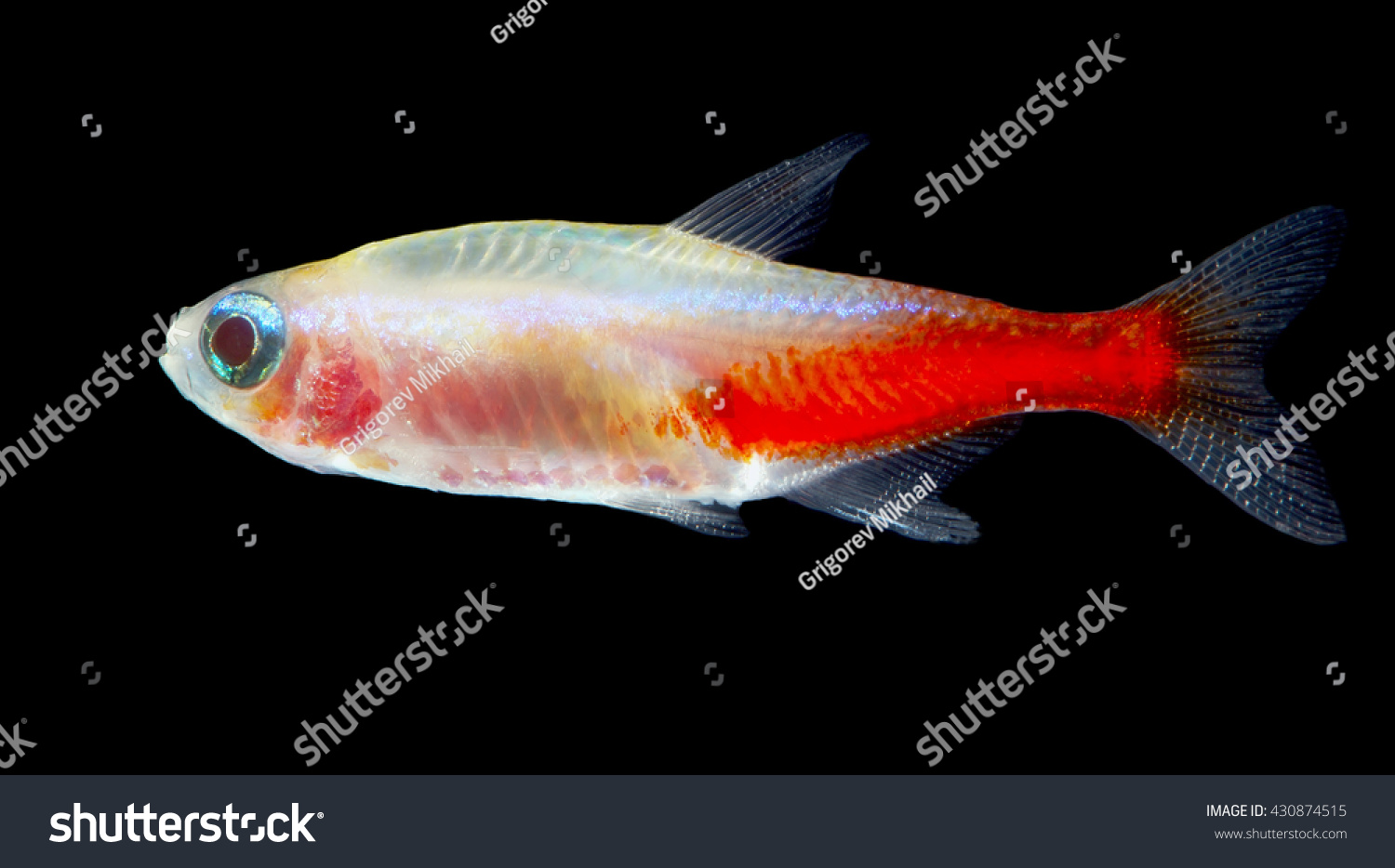 Gold Neon Tetra Isolated Stock Photo (Royalty Free) 430874515 ...