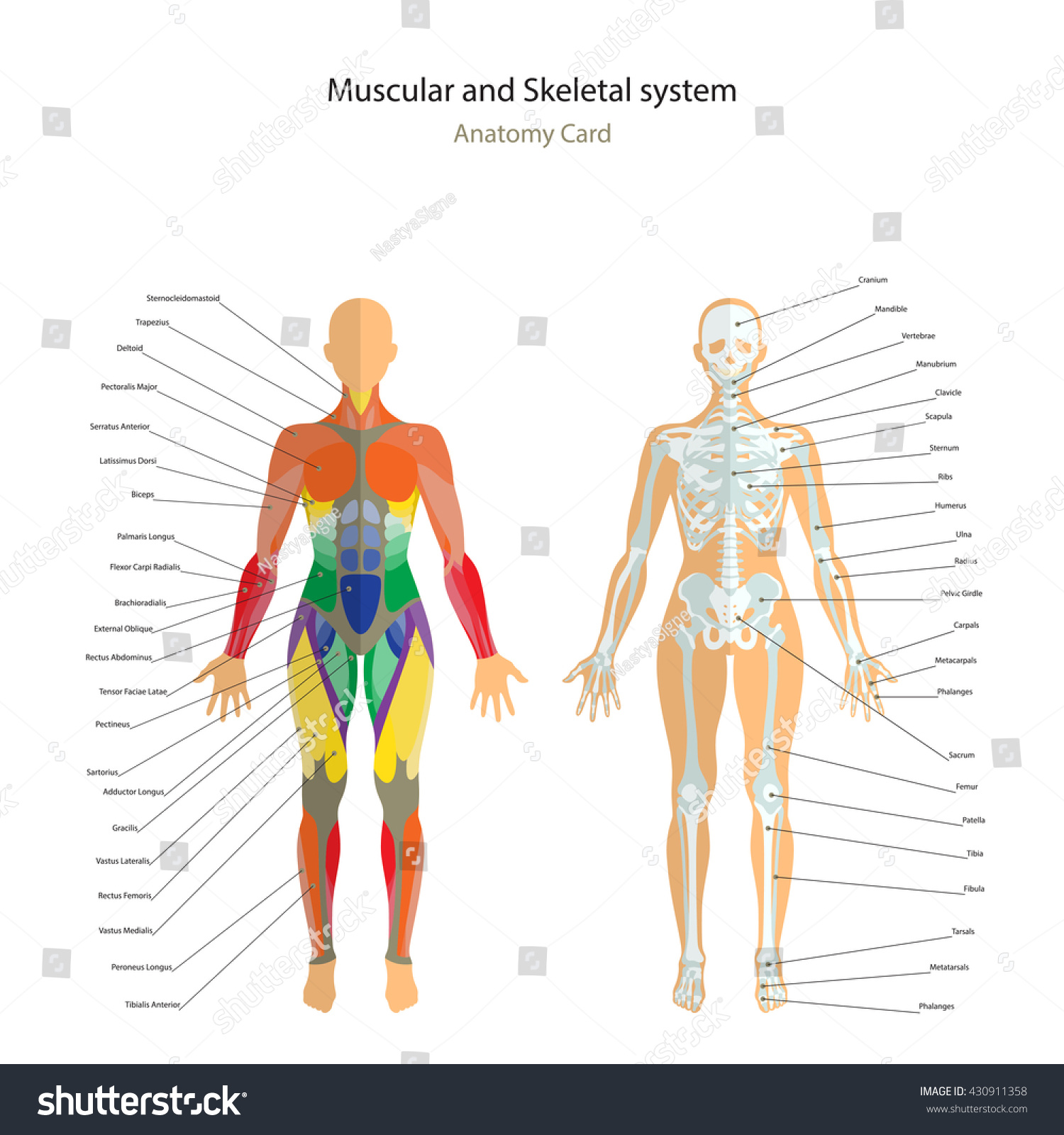 Anatomy Guide Female Skeleton Muscles Map Stock Vector Royalty Free