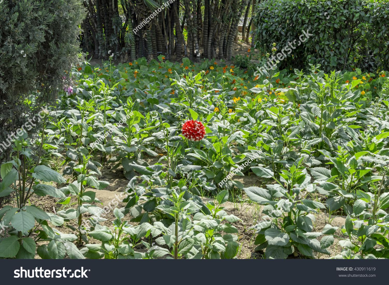 Dahlia plants being grown open field stock photo royalty free dahlia plants being grown in open field izmirmasajfo