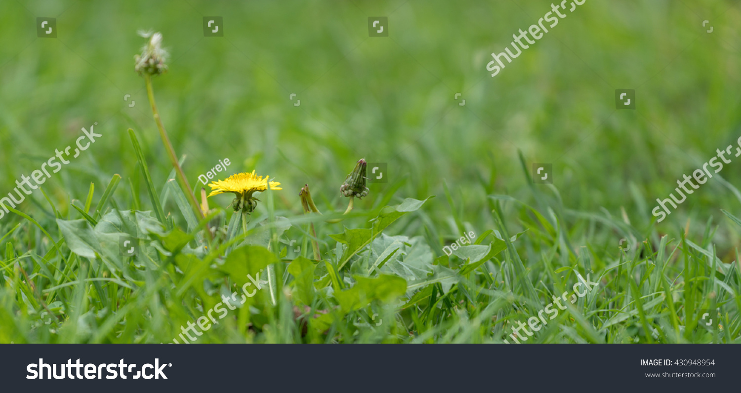 A Small Yellow Gumweed With Yellow Daisy Like Flower Heads In The