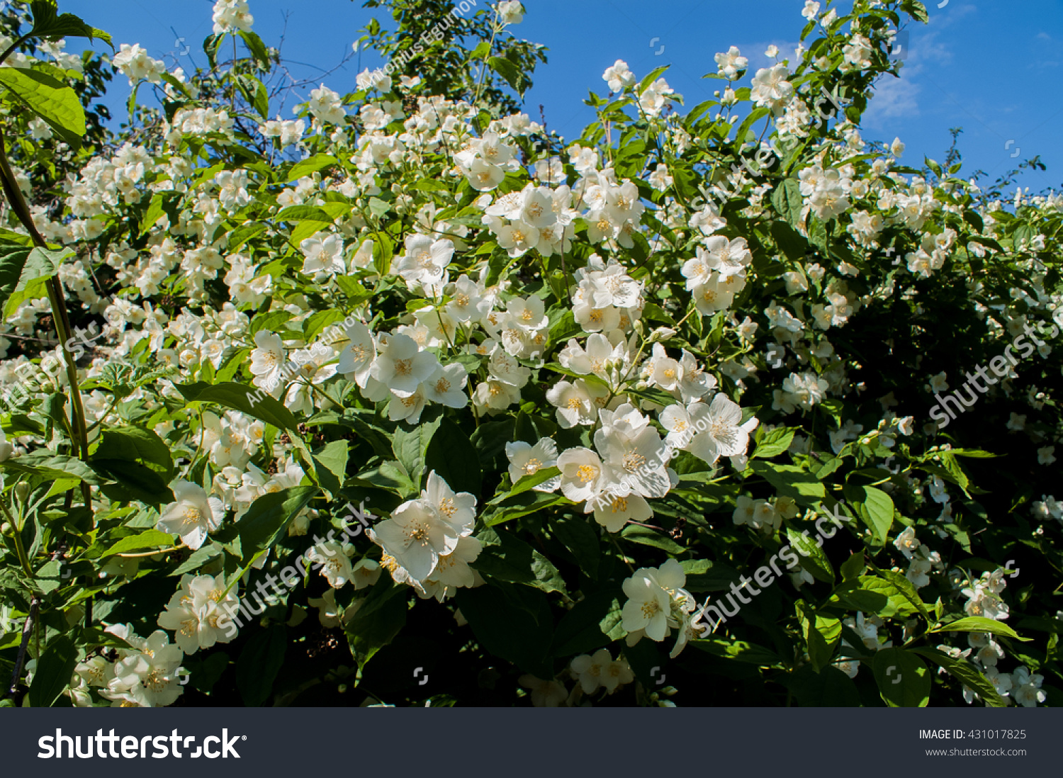 Flowering Shrub Small Fragrant White Flowers Stock Photo Edit Now