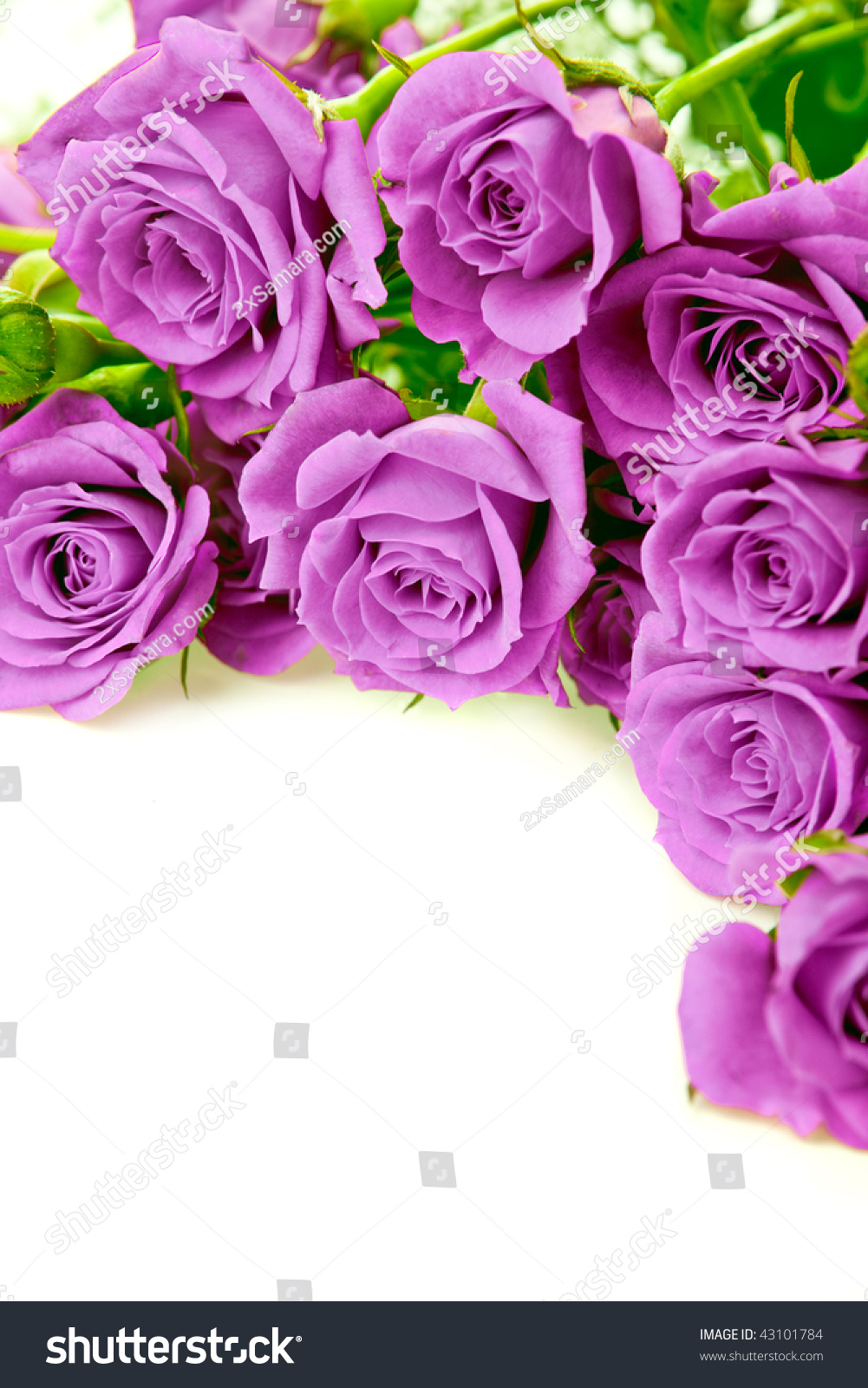 Purple Roses Bouquet On White Background Stock Photo Royalty Free 43101784