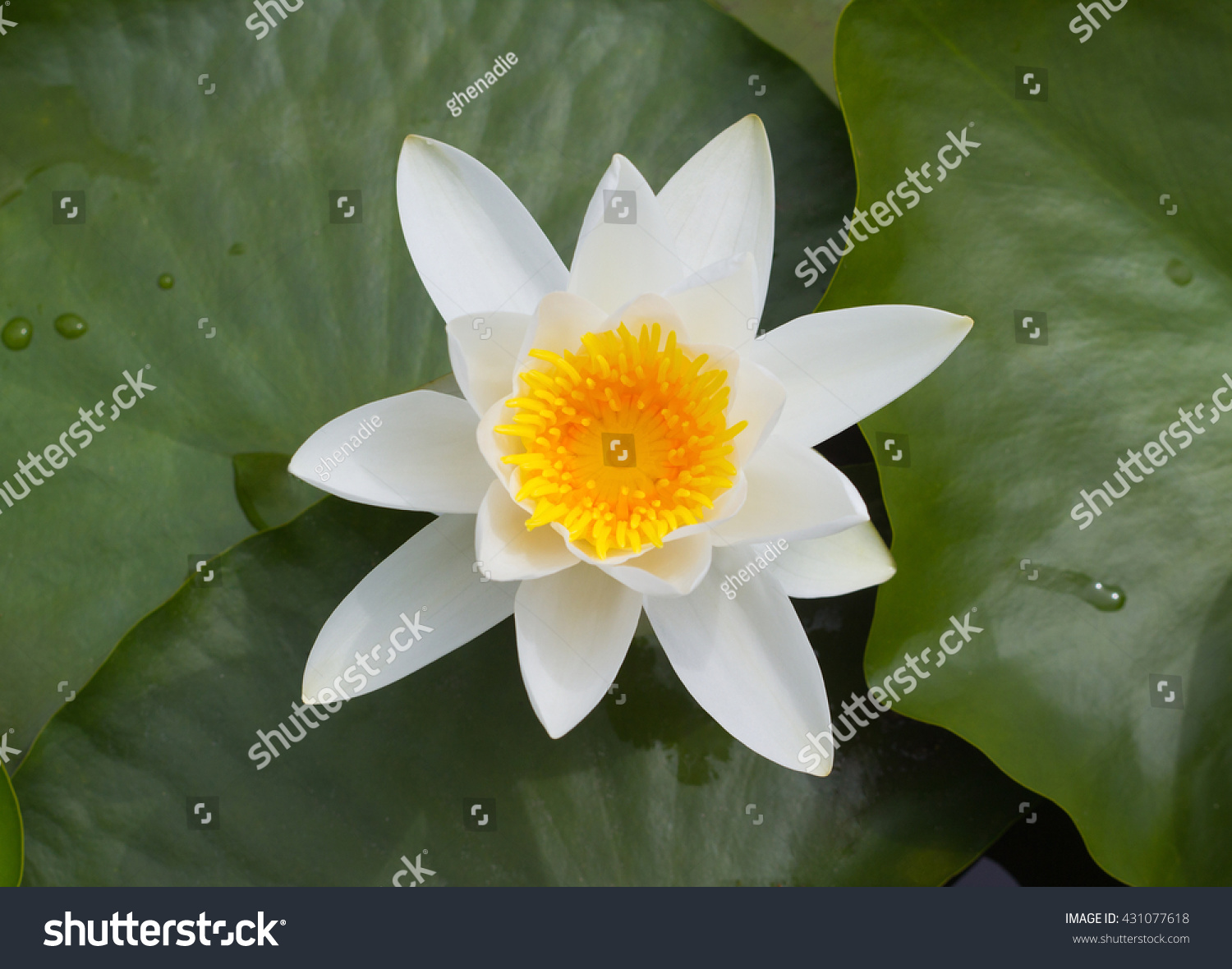 Top view lotus flower leaves on stock photo edit now 431077618 top view of lotus flower and leaves on pond izmirmasajfo