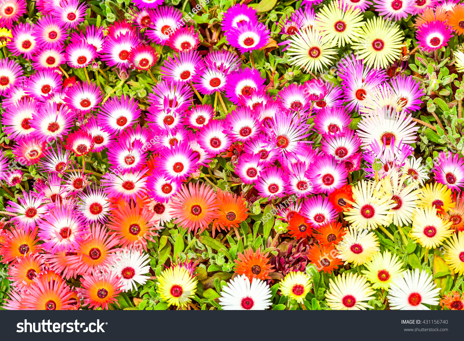 Very Beautiful Shocking Color Flower Called Stock Photo Edit Now