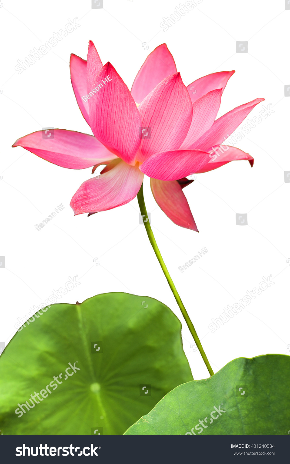 Red lotus flower blossom green stem stock photo edit now 431240584 a red lotus flower in blossom with green stem and foliage isolated izmirmasajfo