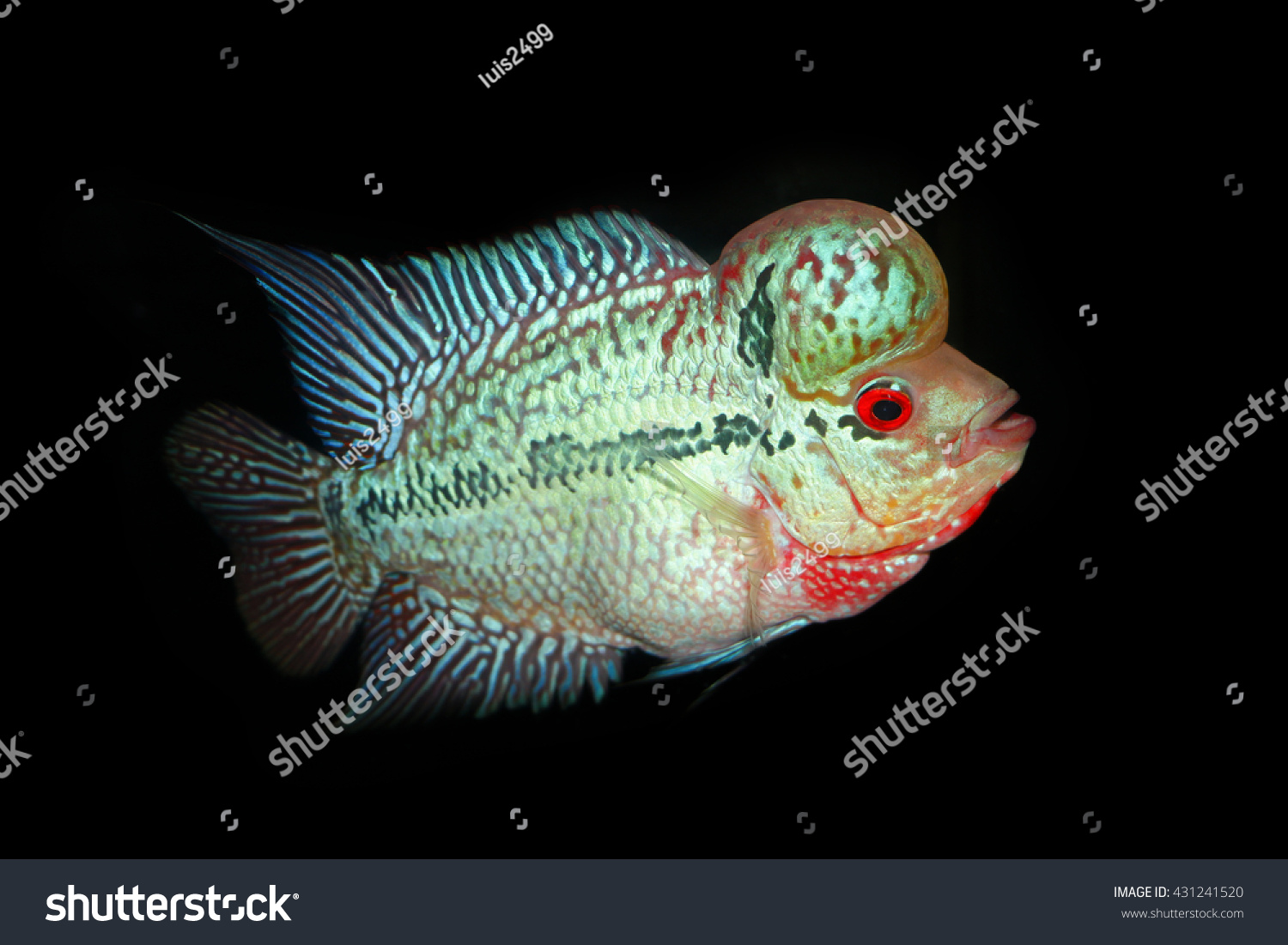 Beautiful Good Color Flowerhorn Cichlid Fish Stock Photo 431241520 ...