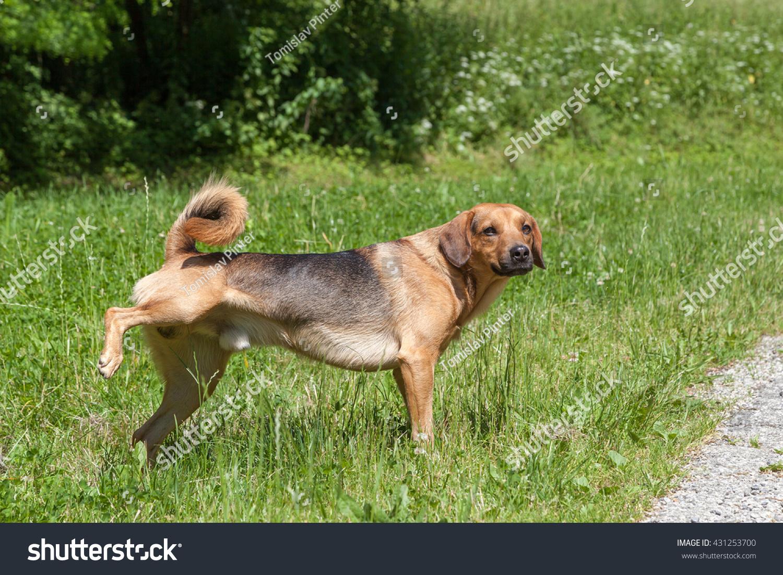 dog peeing stock photo 431253700   shutterstock