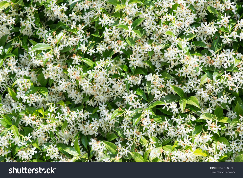 White Climbing Jasmine Hedge Flowers Stock Photo Edit Now