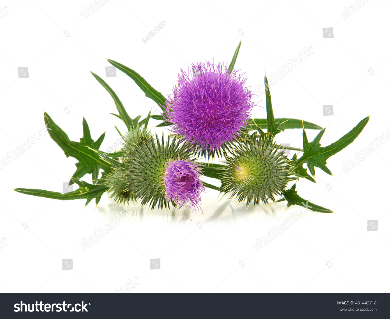 Thistle Flowers Isolated On White Ez Canvas