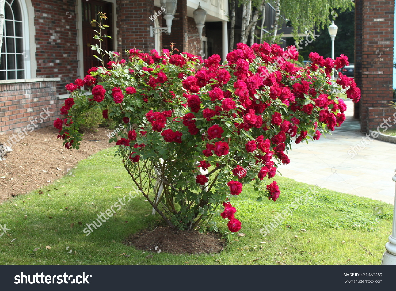 Climbing Red Rose Stock Photo 431487469 - Shutterstock