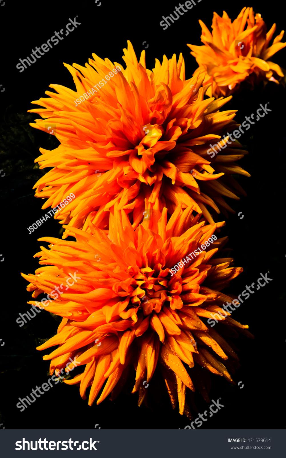 Chrysanthemum one most beautiful flower there stock photo royalty chrysanthemum is one of the most beautiful flower there are many kinds types or izmirmasajfo