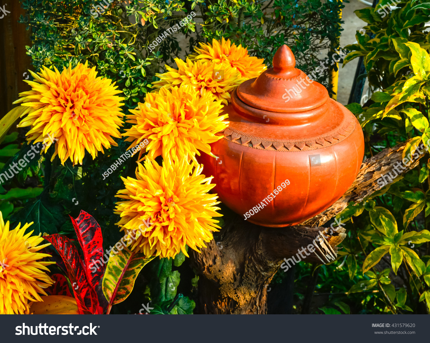 Chrysanthemum one most beautiful flower there stock photo royalty chrysanthemum is one of the most beautiful flower there are many kinds types or izmirmasajfo