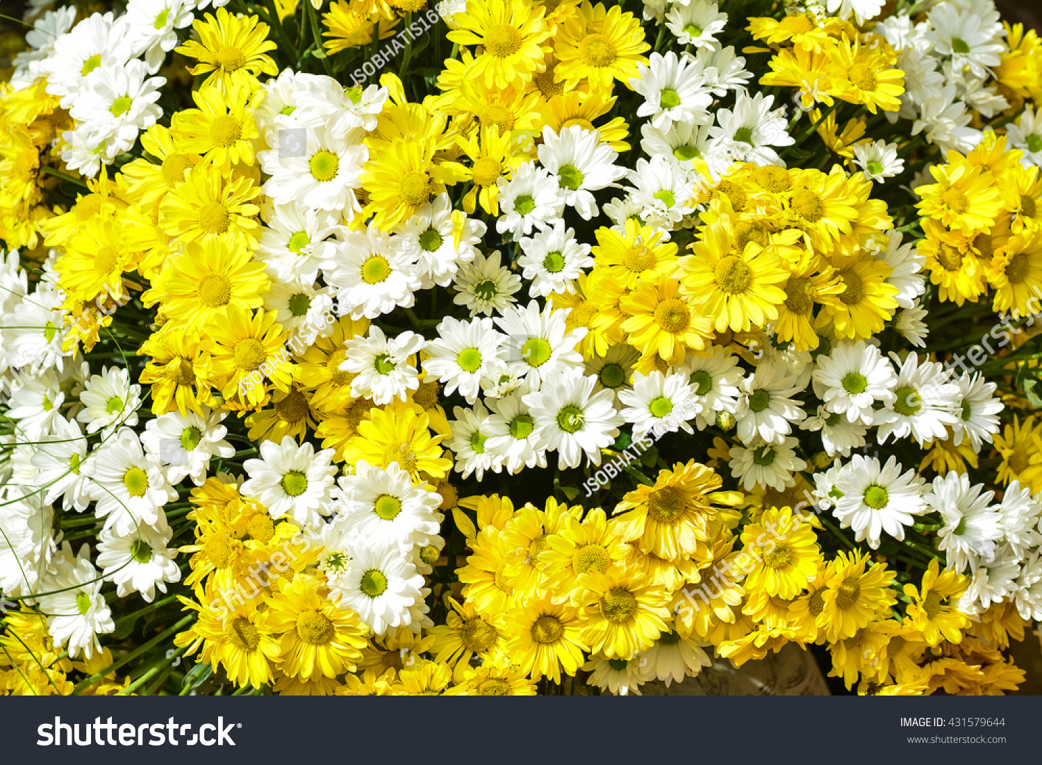 Chrysanthemum one most beautiful flower there stock photo edit now chrysanthemum is one of the most beautiful flower there are many kinds types or izmirmasajfo
