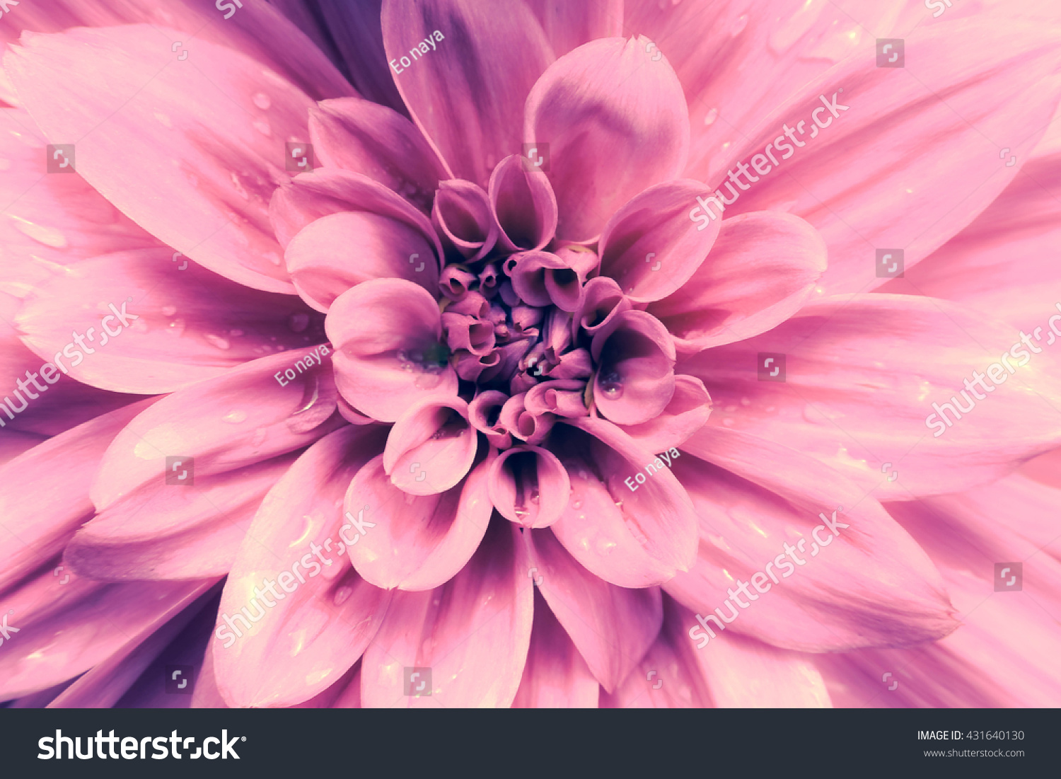 An isolated shot of a pink dahlia flower ez canvas izmirmasajfo