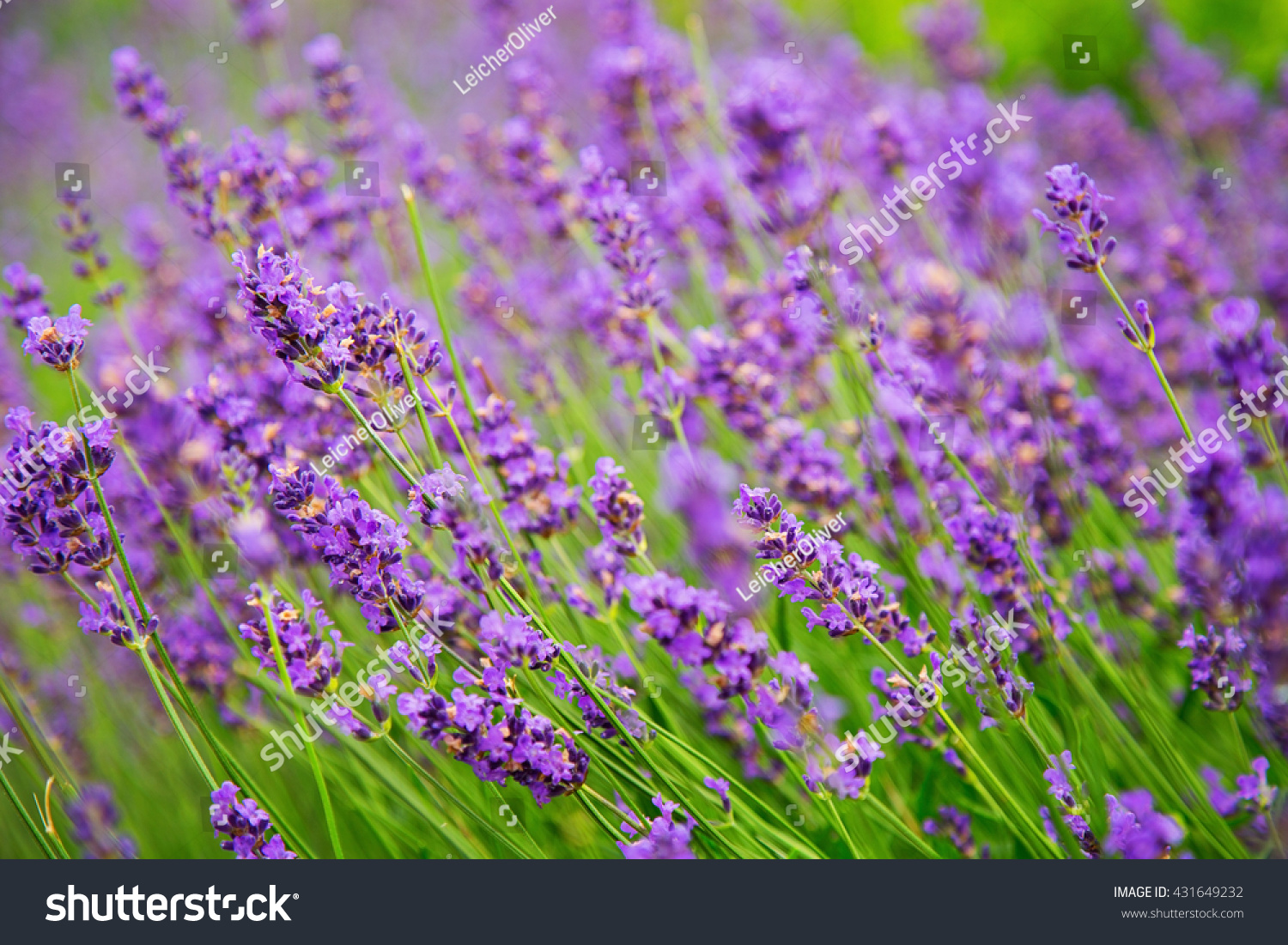 Beautiful lavender flowers ez canvas id 431649232 izmirmasajfo