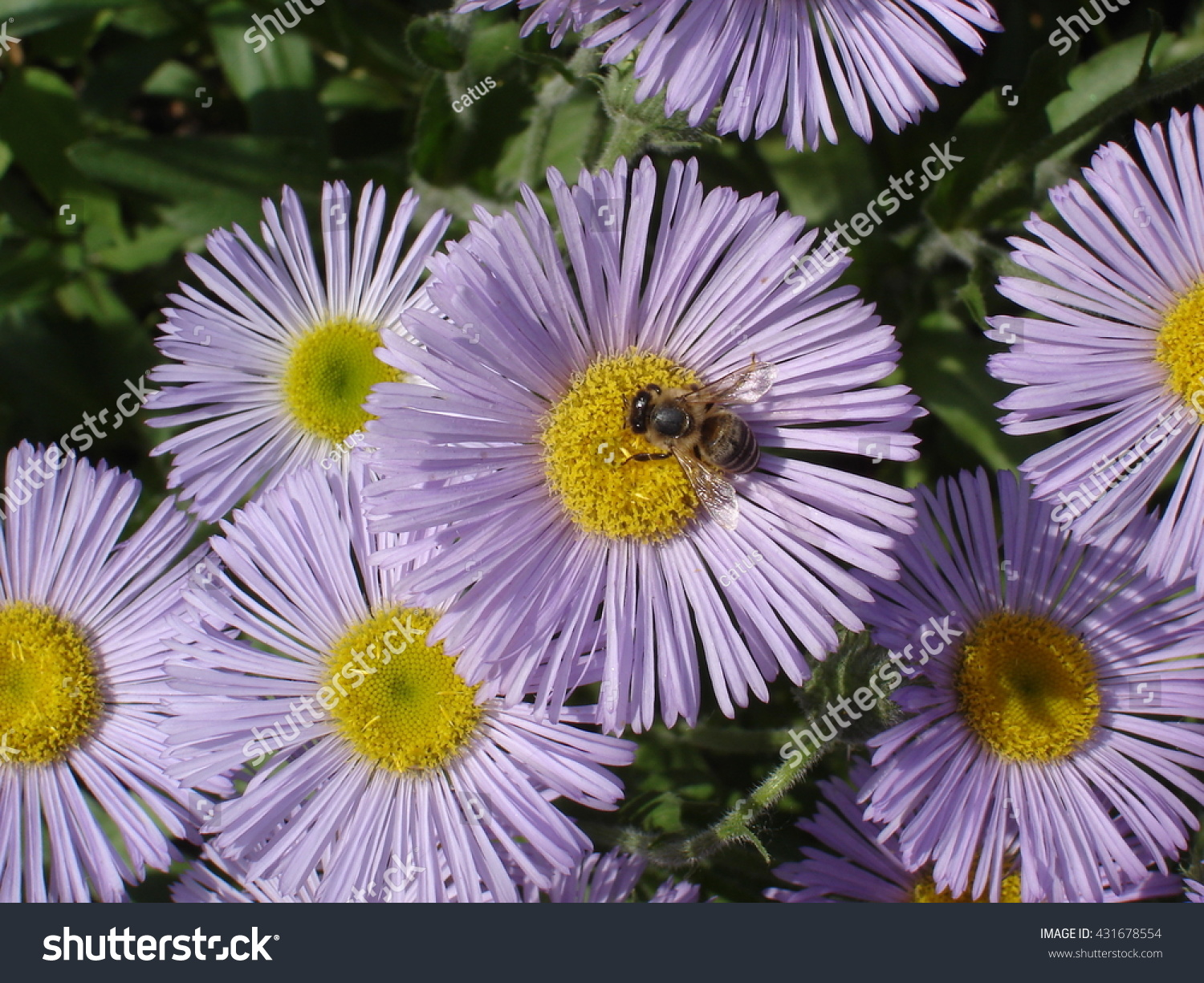 Erigeron Seaside Daisy Purple Yellow Flowers Stock Photo Edit Now